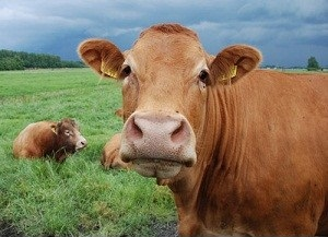 cow-cattle