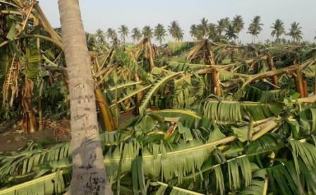 பெரம்பலூர் பகுதிகளில் இடி, மின்னலுடன் கன மழை: வாழை மரங்களையும் சாய்த்தது